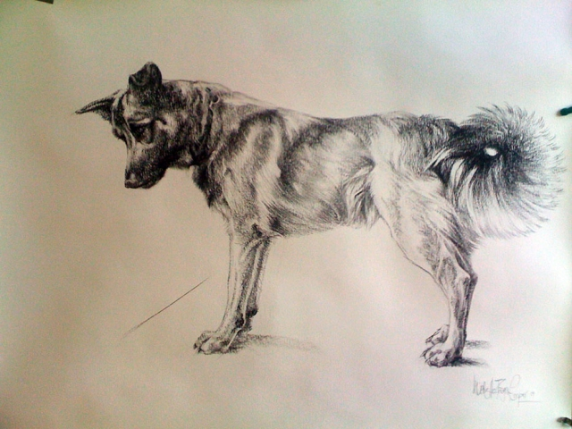 Icelandic Hound Charcoal Painting