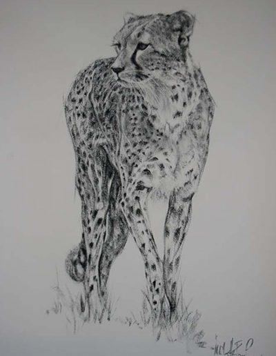 Cheetah Poised
