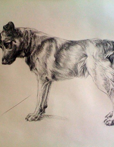 Icelandic Hound Charcoal on Arches 36 x 50 inches